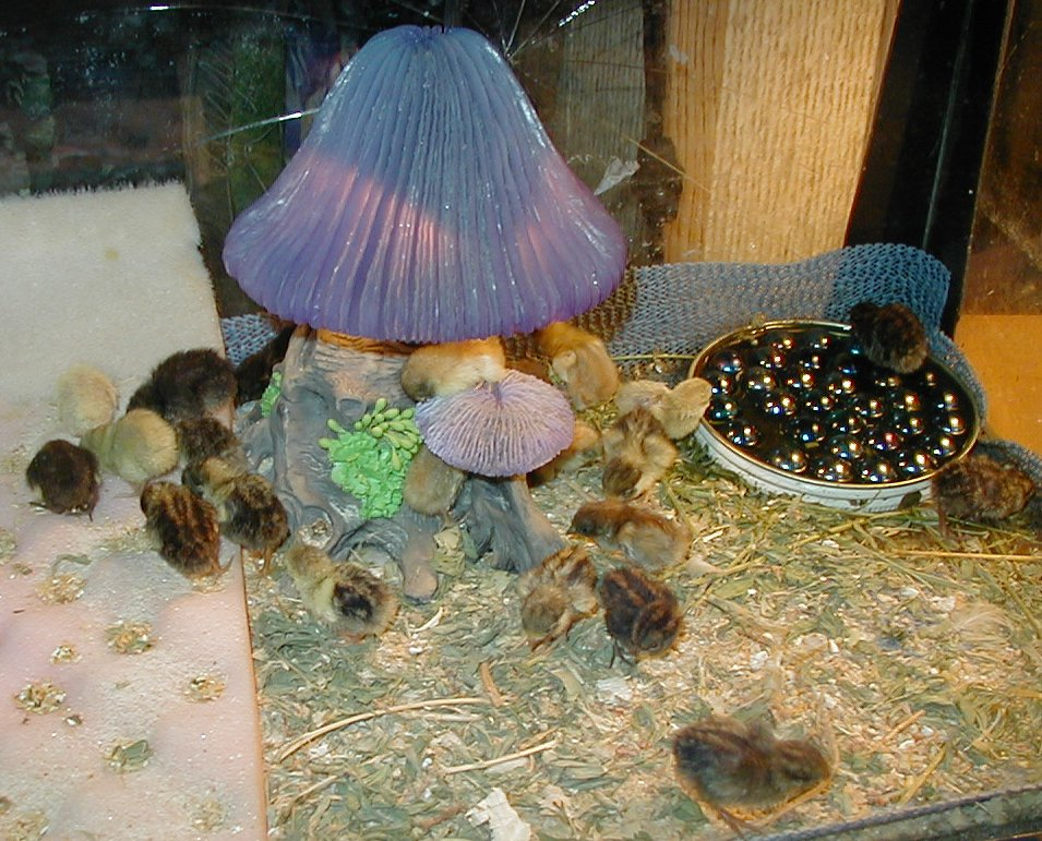 Button quail pets : Brazilian stores in orlando fl